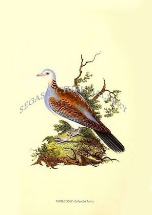 TURTLE DOVE - Columba Turtur